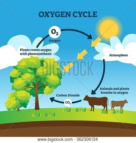 Oxygen Cycle Vector Illustration. Labeled Educational O2 Circulation Scheme. Biological Diagram With