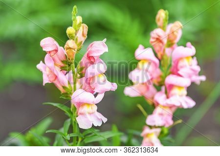 Snapdragons. Snapdragon Pink Flowers In The Garden. Spring And Summer Background