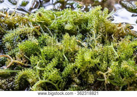Close-up Bunch Of Seaweed In Farm With Water .bunch Of Seaweed Or Sea Grapes.it Is A High-fiber, Low