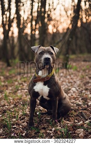 Vertical Portrait Of Blue American Staffordshire Terrier (amstaff) Sitting On The Ground In Nature.