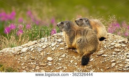 Two Alpine Marmots, Marmota Marmota, Resting In Nature