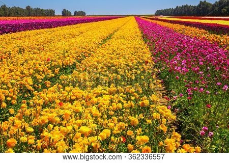 Gorgeous multicolor floral carpet. Multi-colored large garden buttercups. A field of luxurious springtime flowers of buttercups. Kibbutz field of flowering colorful buttercups. Israel. Beautiful sunny