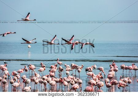 Beautiful birds fly over the water. Early morning on the atlantic coast of Namibia. Flock of magnificent flamingos feed themselves in coastal silt. Concept of photo tourism and birdwatching