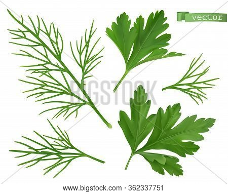 Coriander Leaves, Dill Herb. Flavouring Food. 3d Vector Ralistic Objects