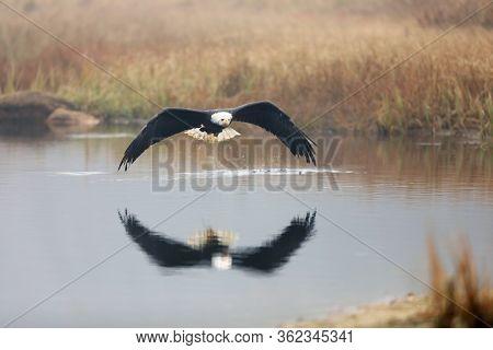 Bald Eagles (haliaeetus Leucocephalus) Are Commonly Found Throughout Coastal Alaska In Places Like K