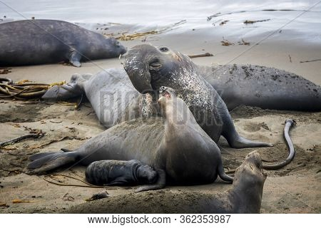 Male, Female And Pup Northern Elephant Seals Together On Beach In California.