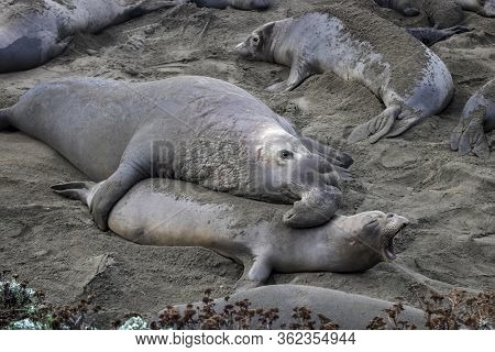 Male Northern Elephant Seal Grabs Female On A Beach Full Of Seals And Pups In California.
