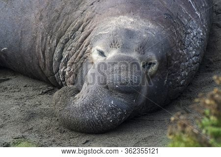 Huge Male Northern Elephant Seal Rests With Proboscis Nose On A Beach Close Up In California.
