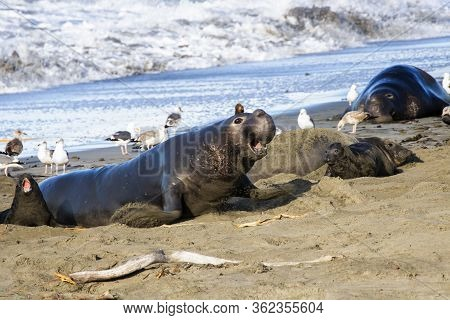 Male Northern Elephant Seal Charges Across The Sand In A California Seal Colony With Females And Pup