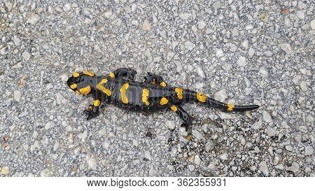 The Fire Salamander (salamandra Salamandra) Is Possibly The Best-known Salamander Species In Europe.