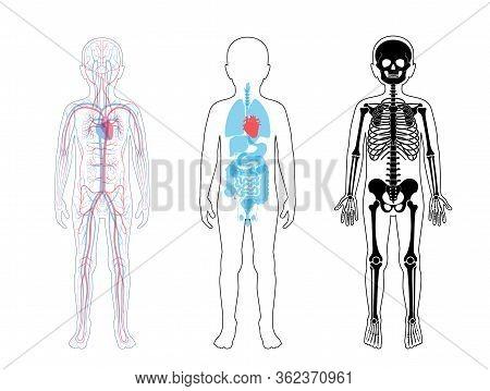 Boy Skeleton, Internal Organs, Circulatory System Anatomy. Anatomical Structure Of Human Child Body