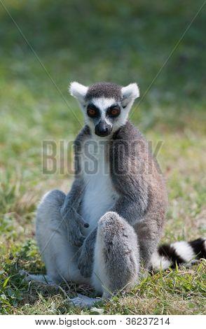 Lemur Sat Down On The Grass