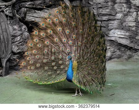 Closeup Male Indian Peafowl Or Indian Peacock Is Spreading Feathers