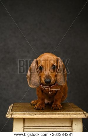 Dachshund. The Little Red-haired Dachshund Puppy Sits In A Photo Studio On A Wooden Chair And Looks
