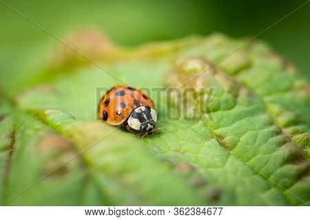 An Adult Asian Ladybeetle (harmonia Axyridis, Coccinellidae) Sitting On A Green Leaf