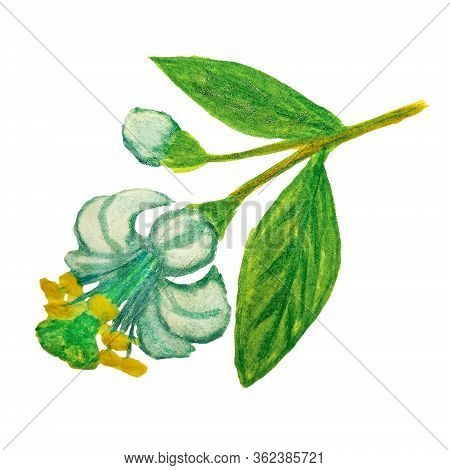 Watercolor Drawing Of A Lemon Flower Isolated On White Background. Blue Flower With Stamens And Pist