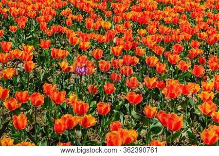 Bright Flowerbed With Orange-red Tulips In A Deserted City Center During Quarantine. Spring Flowers