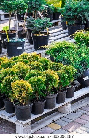 Home Plants Sale, Nursery, Flowers At The Flower Market, Saplings Of Bushes And Coniferous Trees In