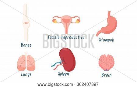 Set Of Human Organs Bones, Lungs, Brain, Female Reproductive System, Spleen, Stomach. Vector Illustr