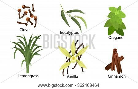 Set Of Different Natural Herbs, Flowers. Clove, Oregano, Eucalyptus, Vanilla, Lemongrass, Cinnamon.