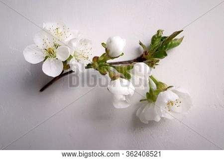 Fresh Cherry Branch With Tender Flowers On White Wall Background