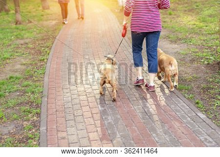 Back View Of Mature Adult Single Woman Walking With Two Cocker Spaniel Dogs By Path At City Park Or