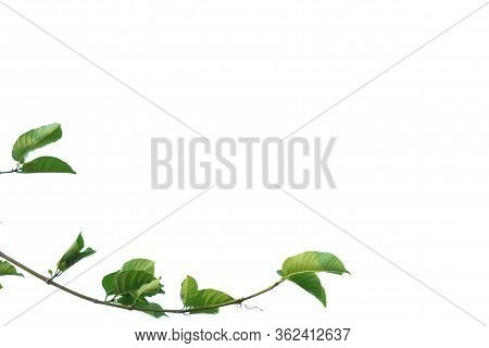 A Twig Of Tropical Plant Leaves With Su Nlight On White Isolated Background For Green Foliage Backdr