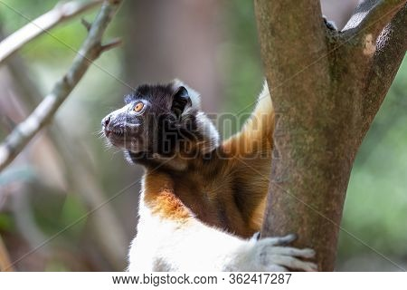A Sifaka Lemur That Has Made Itself Comfortable In The Treetop