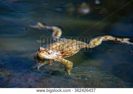 Common Toad, European-toad, Bufo Bufo Floating On Spring Pond, In Natural Habitat - Czech Republic,