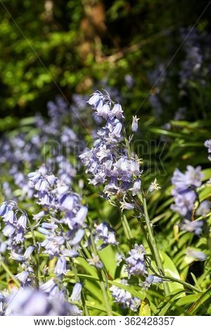 Vertical Picture Of The Bluebell Flowers (hyacinthoides Non-scripta) In Springtime, Focus On Foregro