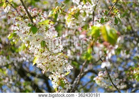 Close-up Of The Flowers In Bloom During Springtime. Midland Hawthorn (crataegus Laevigata).
