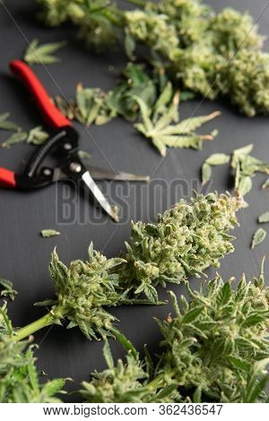 Growers Trim Their Pot Buds Before Drying. Trim Before Drying. Mans Hands Trimming Marijuana Bud.