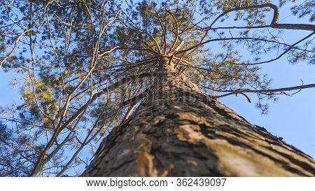 High Pine In The Forest. Close-up Of A Tree. The Bark Of A Tree Close Up. Tree Trunk View From Botto