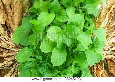 Virginia Tobacco, Nicotiana Tabacum, Cultivated Tobacco. Young Virginia Tobacco Plant