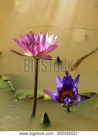 Close up beautiful colorful lotus water lily flowers and beam of light on water pond in garden