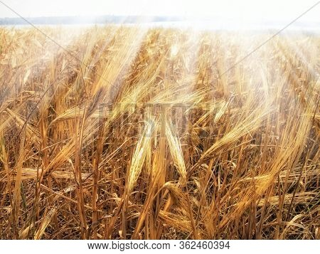 close up agricultural background image from shiny wheat field under sunlight