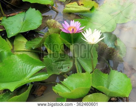 Close up beautiful red and white lotus water lily flowers and beam of light on water pond in garden