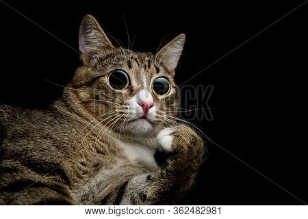 Caricature Of A Funny Surprised Cat With Huge Eyes Looks Up. The Tabby Cat Took Catnip And Valerian