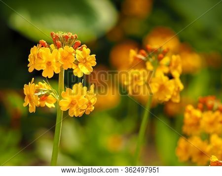 Closeup Of Pretty Orange Candelabra Primula Flowers In A Summer Garden With Soft Focus