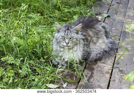 The Maine Coon Is The Largest Domesticated Cat Breed In The Forest