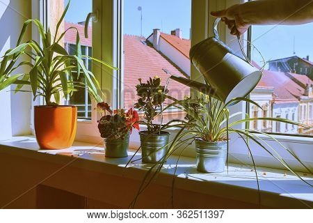 Hand With Water Can Watering Indoor Plants On Windowsill. Home Gardening, Love Of Plants Indoors. Wa