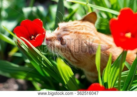 Funny curious red-haired tabby cat walking in the spring garden sniffs red tulips. Adorable domestic animal. Cute pet otdoor among blooming flowers