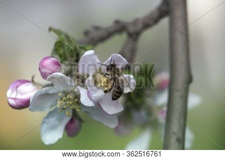 Bee On A White Flower On A Tree.bee Picking Pollen From Apple Flower.