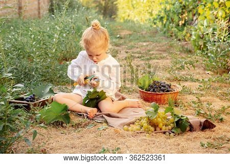 Grapes Harvest. Little Baby Girl Picks Grapes Harvest In Summer Time At Sunset. Portrait Of Beautifu