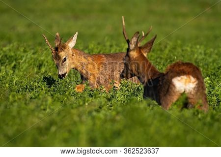 Rivalry Of Roebucks In A Territorial Fight In Spring Nature At Sunrise