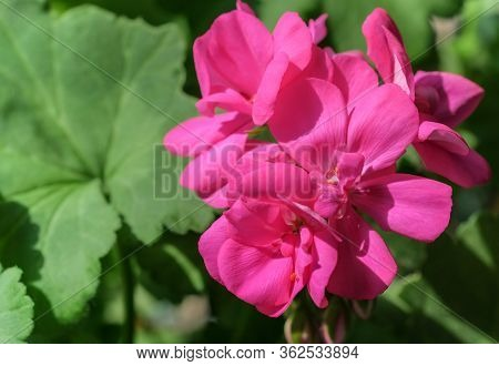 Beautiful Pink Flowers Of Geraniums Or Cranesbills Plant On Natural Green Leaves Background. House P