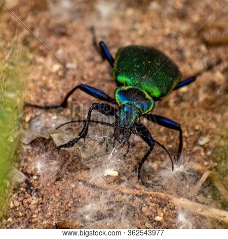 Close Up Of An Iridescent Green Beetle