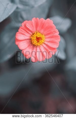 Zinnia Lilliput One Single Flower In Vibrant Pink With Grey Bokeh Leaves Background. Room For Text.