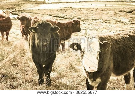Highland Cattle Calf, Scottish Highlands Calves. Highland Cattle Calf, Scottish Highlands Calves