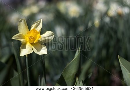 Yellow Narcissus With Yellow Trumpet In The Flowerbed. Yellow Spring Flowers (daffodils) Grow In The